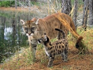 panther 300x225 Florida Panther: When will we learn?